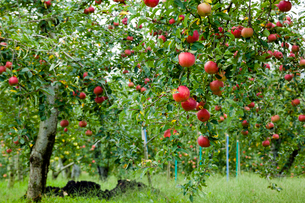 リンゴ畑の写真素材 [FYI03350002]