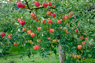 リンゴ畑の写真素材 [FYI03350004]