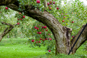リンゴ畑の写真素材 [FYI03350008]