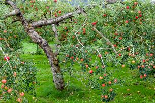 リンゴ畑の写真素材 [FYI03350013]