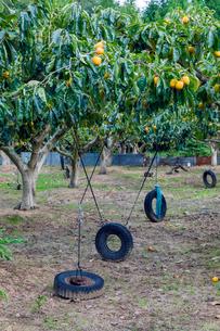 枝を調整する柿畑の写真素材 [FYI03350015]