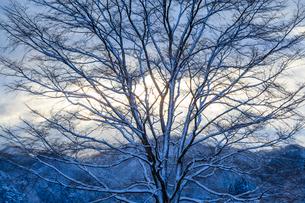 雪化粧の大木と雲間の日差しの写真素材 [FYI03350099]