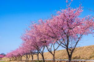カワヅザクラ並木の写真素材 [FYI03350171]