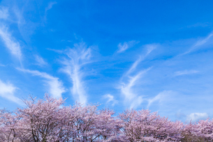 桜と青空に流れる巻雲の写真素材 [FYI03350174]