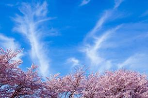 桜と青空に流れる巻雲の写真素材 [FYI03350175]