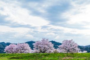 桜と曇り空の写真素材 [FYI03350182]