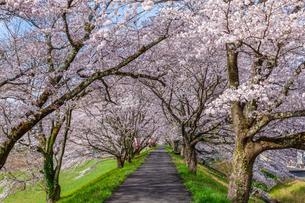 三刀屋川堤防の桜並木の写真素材 [FYI03350183]