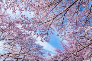桜と青空の写真素材 [FYI03350184]