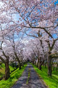 桜並木とアスファルト道の写真素材 [FYI03350186]