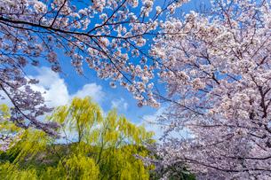 青空に映えるソメイヨシノと柳の写真素材 [FYI03350188]