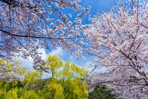 青空に映えるソメイヨシノと柳の写真素材 [FYI03350189]