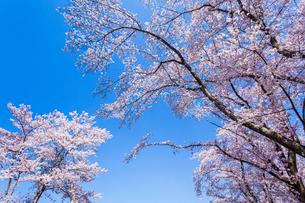 桜と青空の写真素材 [FYI03350255]