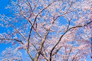 桜と青空の写真素材 [FYI03350262]