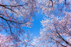 桜と青空の写真素材 [FYI03350264]