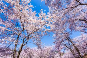 桜と青空の写真素材 [FYI03350265]