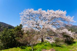 山里に咲く桜の写真素材 [FYI03350269]