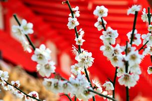 梅の花と神社の写真素材 [FYI03351378]