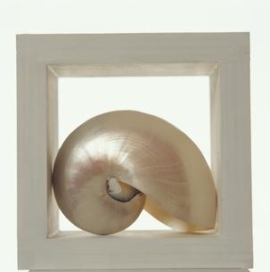額の中のオウム貝の写真素材 [FYI03351468]