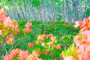 朝の白樺平のレンゲツツジの写真素材 [FYI03351678]
