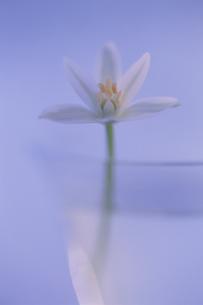 水が入ったグラスに生けられた花のオシベとメシベ(白)の写真素材 [FYI03352131]