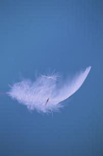 羽毛とタンポポの綿毛の写真素材 [FYI03352145]
