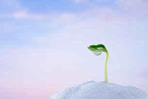 キューリの新芽と水滴の写真素材 [FYI03352168]