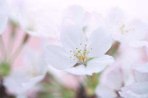 桜の写真素材 [FYI03352175]