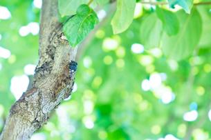 蝉と木陰の写真素材 [FYI03352235]