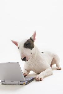ノートパソコンとイヌ(ブルテリア)の写真素材 [FYI03352914]
