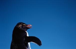 Rock hopper Penguinの写真素材 [FYI03353160]