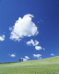 そば畑と青空の写真素材 [FYI03353244]