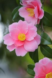 ピンク色の椿の花の写真素材 [FYI03353257]