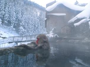 露天風呂に入る日本猿の写真素材 [FYI03353382]