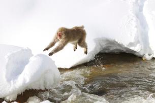 雪の積もった川を飛ぶ日本猿の写真素材 [FYI03353405]