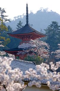 桜と多宝塔の写真素材 [FYI03353936]