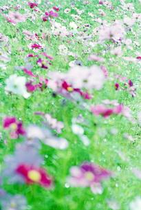 コスモスの花の写真素材 [FYI03353954]