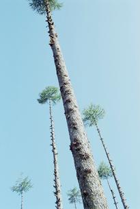 枝を打ち落された唐松の並木の写真素材 [FYI03353962]