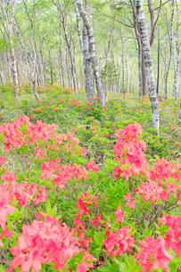 白樺平の白樺林とレンゲツツジの写真素材 [FYI03354370]