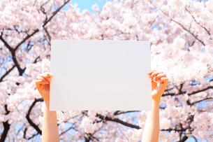 桜をバックに白紙を掲げる手の写真素材 [FYI03354755]