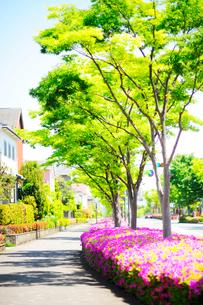 満開のツツジと新緑の街路樹の写真素材 [FYI03354905]