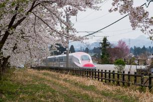 桜並木と秋田新幹線スーパーこまちの写真素材 [FYI03354948]
