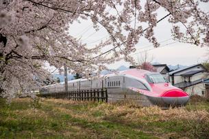 桜並木と秋田新幹線スーパーこまちの写真素材 [FYI03354965]