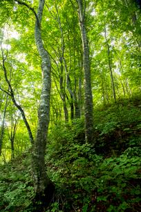 世界遺産白神山地暗門エリアブナの森の写真素材 [FYI03355024]