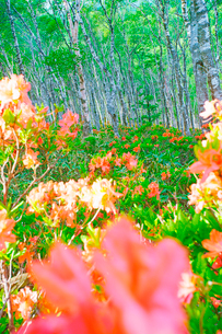 朝の白樺平のレンゲツツジの写真素材 [FYI03355339]