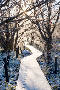 霧ヶ峰高原朝日に輝く霜の八島ヶ原湿原遊歩道と木々の写真素材 [FYI03355537]