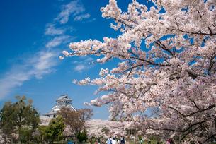 満開の桜と長浜城の写真素材 [FYI03355599]
