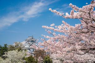 満開の桜と長浜城の写真素材 [FYI03355608]