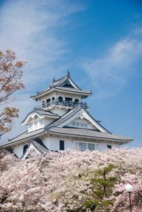 満開の桜と長浜城の写真素材 [FYI03355611]