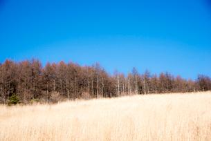 霧ヶ峰高原カラマツ林と青空の写真素材 [FYI03355612]