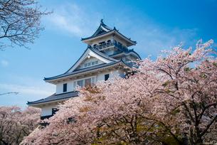 満開の桜と長浜城天守閣の写真素材 [FYI03355613]